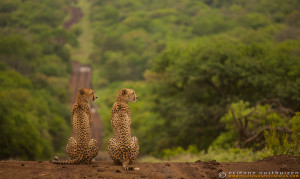 Cheetah looking over the Zululand hills