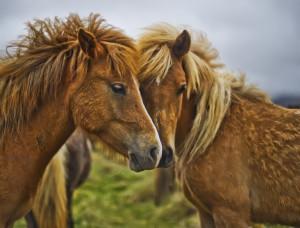 Horse Friends-L