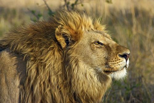 lion-515028_1280EDIT