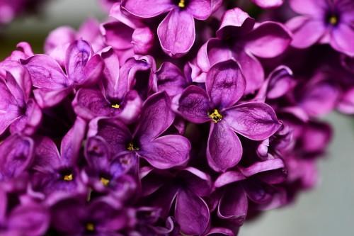 syringa-vulgaris-335104_1280(1)