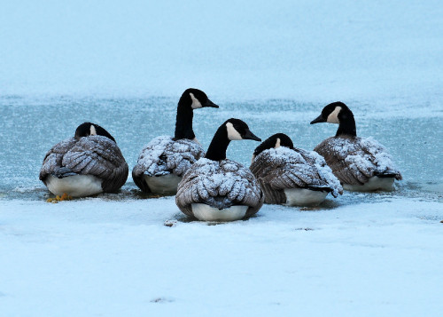 canada-geese-1034005EDIT